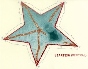 Starfish Ventral painted web