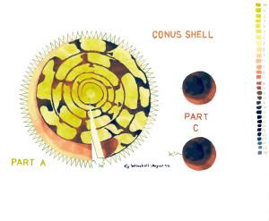 Conus A C Painted