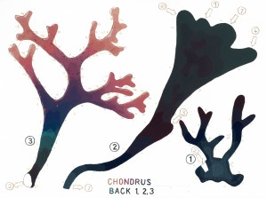Chondrus Back 1 web