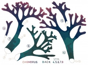 Chondrus Back 4 web