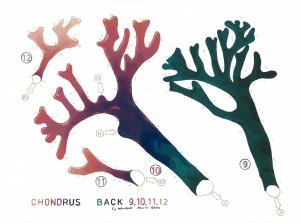 Chondrus Back 9 web