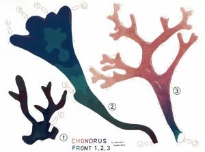 Chondrus Front 1 web