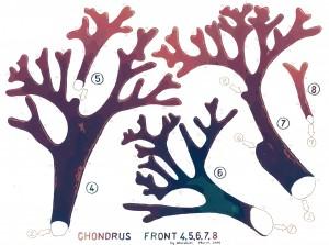 Chondrus Front 4 web