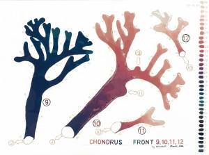 Chondrus Front 9 web
